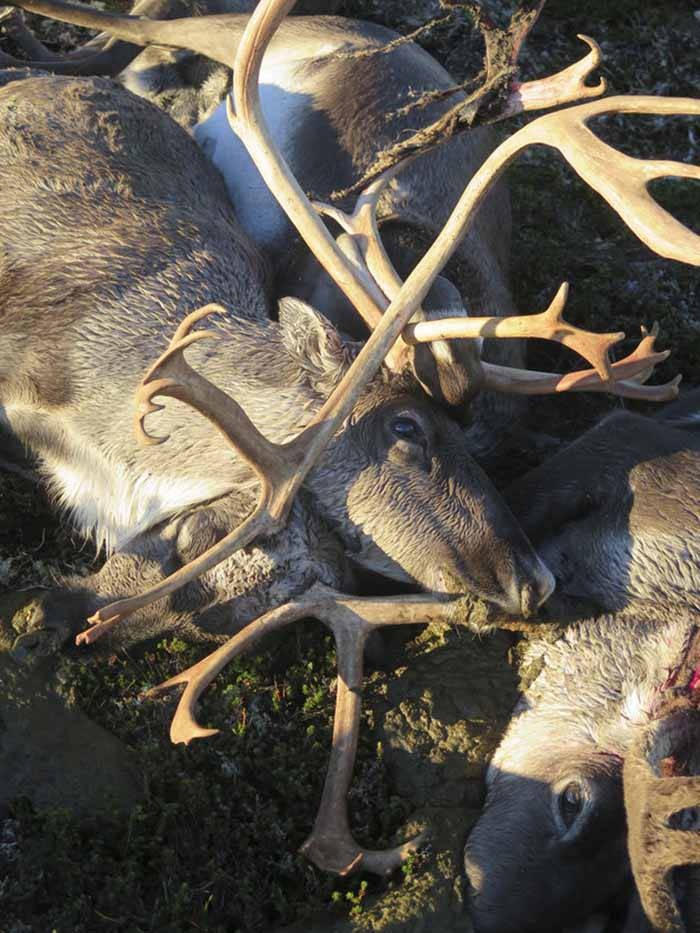 Norway Reindeer Killed