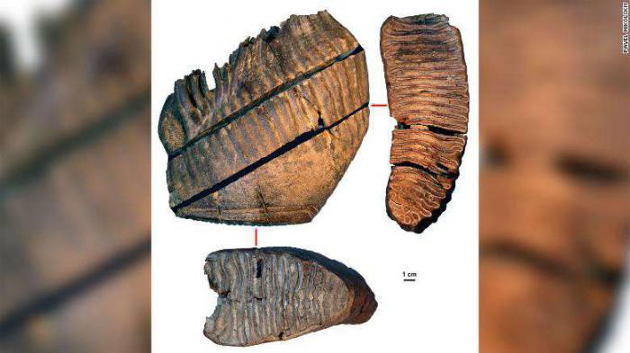 ตัวอย่างฟันแมมมอธ 2 ซี่ที่พบว่ามีอายุมากกว่าล้านปี