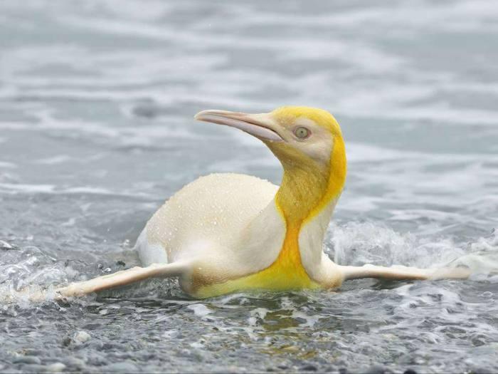 นกเพนกวินสีเหลืองในมหาสมุทรแอตแลนติกใต้